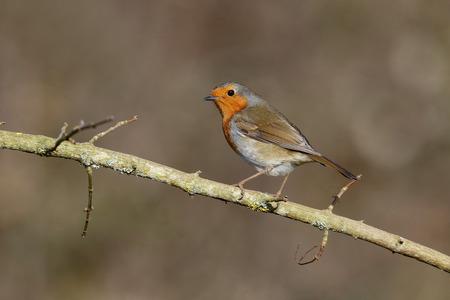 erithacus: Robin, Erithacus rubecula, single bird on perch, Warwickshire, January 2015 Stock Photo
