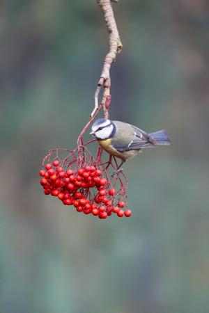 cyanistes: Blue tit, Cyanistes caeruleus, single bird on red berries, Warwickshire, January 2015 Stock Photo