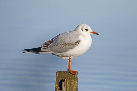 larus: Black-headed gull, Larus ridibundus,