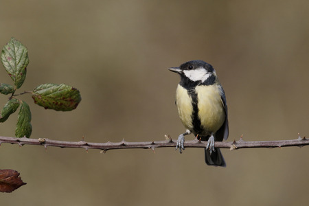 parus major: Great tit, Parus major,  Stock Photo