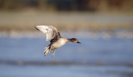 anas: Northern pintail, Anas acuta,