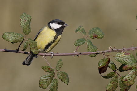 parus major: Great tit, Parus major, single bird on branch, Warwickshire, January 2015