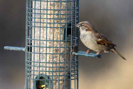 domesticus: House sparrow, Passer domesticus, single male on feeder, Gloucestershire, January 2015