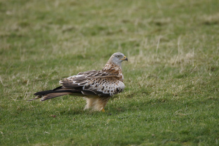milvus: Red kite, Milvus milvus, single bird on ground, Dumfries, Scotland, January 2015. Stock Photo