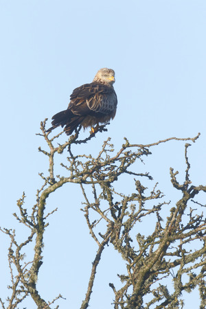 milvus: Red kite, Milvus milvus, single bird in tree, Dumfries, Scotland, January 2015.