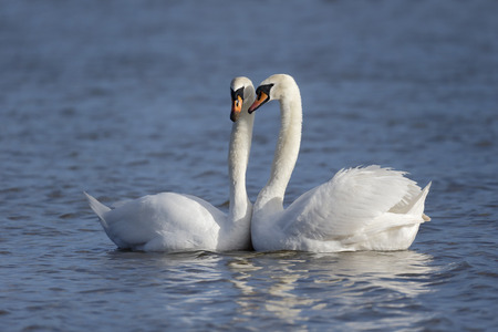 courtship: Mute swan, Cygnus olor, two birds courtship display on water, March 2015 Stock Photo