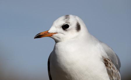 ridibundus: Black-headed gull, Larus ridibundus, head shot in winter plumage, Gloucestershire, March 2015