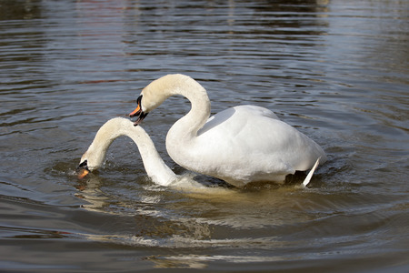 olor: Mute swan, Cygnus olor, two birds mating, Gloucestershire, March 2015 Stock Photo