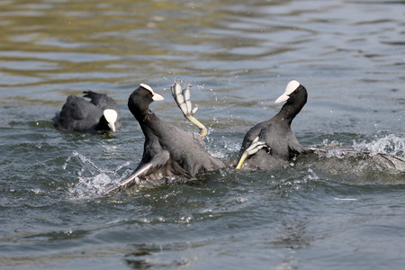 fulica: Coot, Fulica atra, Birds fighting on water, Warwickshire, April 2015 Stock Photo