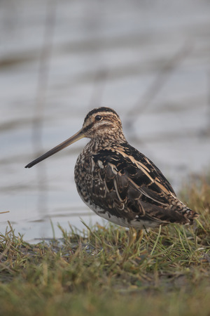 wader: Common snipe single bird by water Stock Photo