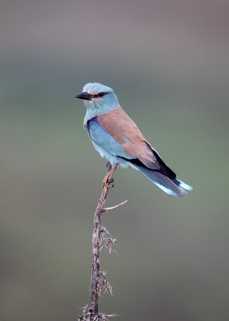 garrulus: European roller, Coracias garrulus, single bird on perch, Cyprus, April 2015