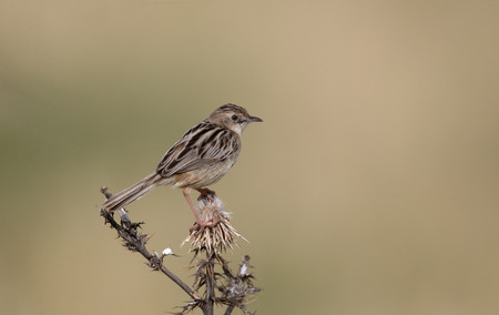 warbler: Fan-tailed warbler or zitting cisticola, Cisticola juncidis, single bird on perch, Cyprus, April 2015 Stock Photo