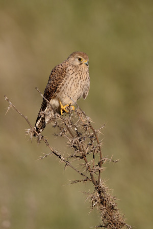 lesser: Lesser kestrel, Falco naumanni, single female on branch, Cyprus, April 2015 Stock Photo