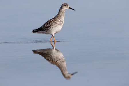 ruff: Ruff, Philomachus pugnax, single bird in water, Cyprus, April 2015 Stock Photo