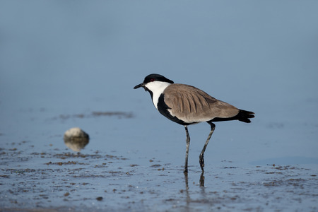 Spur-winged plover or lapwing, Vanellus spinosus, single bird in water, Cyprus, April 2015 Stock Photo