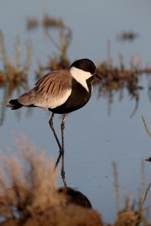 vanellus spinosus: Spur-winged plover or lapwing, Vanellus spinosus, single bird in water, Cyprus, April 2015 Stock Photo