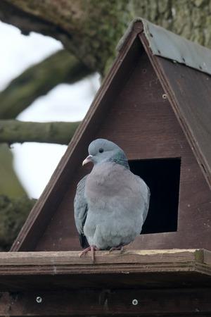 ows: Stock dove, Columba oenas, single bird by nest box for ows, Warwickshire, April 2015