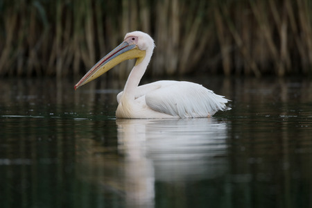 onocrotalus: Great-white pelican, Pelecanus onocrotalus, single bird by water, Romania, May 2015