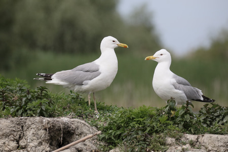 larus: Caspian gull, Larus cachinnans, two birds by water, Romania, May 2015