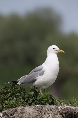 caspian: Caspian gull, Larus cachinnans, single bird by water, Romania, May 2015