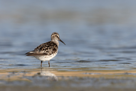 wader: Broad-billed sandpiper, Limicola falcinellus, single bird in water, Romania, May 2015