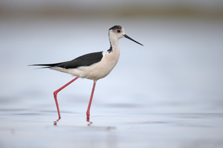 black winged stilt: Black-winged stilt, Himantopus himantopus, single bird in water, Romania, May 2015