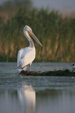 pelecanus: Dalmatian pelican Pelecanus crispus single bird by water Romania May 2015