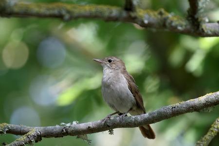 bird nightingale: Nightingale, Luscinia megarhynchos, single bird on branch, Majorca, June 2015 Stock Photo