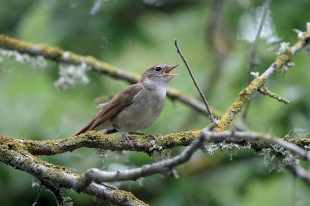 ruise�or: Nightingale, Luscinia megarhynchos, solo p�jaro en la rama, Mallorca, junio 2015