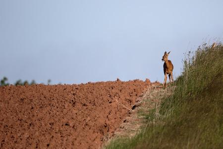 capreolus: Roe deer, Capreolus capreolus, single female on field, Warwickshire, June 2015