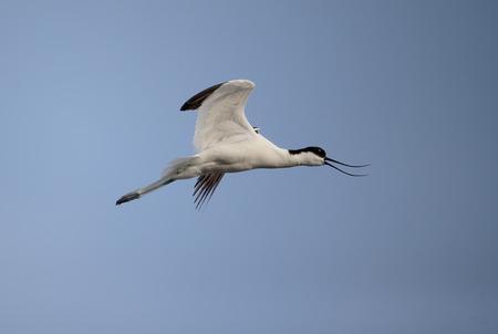 Avocet, Recurvirostra avosetta, single bird in flight, Majorca, June 2015