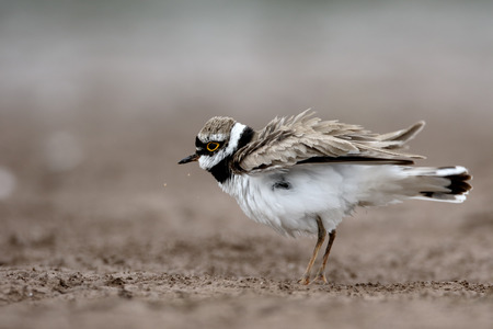 plover: Little-ringed plover, Charadrius dubius, single bird, Warwickshire, June 2015 Stock Photo