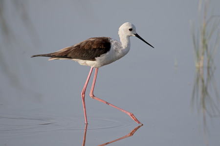 himantopus: Black-winged stilt, Himantopus himantopus, single bird in water, Majorca, June 2015 Stock Photo
