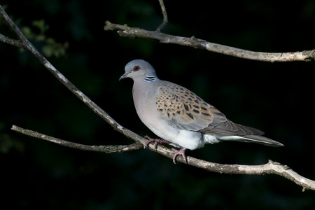 turtle dove: Turtle dove, Streptopelia turtur, single bird on branch, Oxfordshire, June 2015