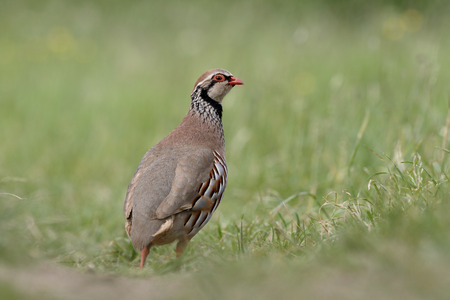 kuropatwa: Red-legged partridge, Alectoris rufa, single bird in grass, Warwickshire, June 2015