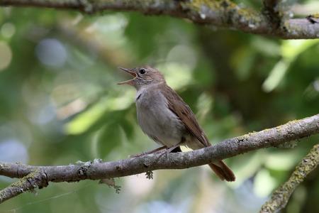 ruiseñor: Nightingale, Luscinia megarhynchos, solo pájaro en la rama, Mallorca, junio 2015