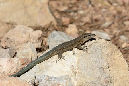 blooded: Lilfords wall lizard, Podarcis lilfordi gigliolii, Dragonera island, Majorca, June 2015