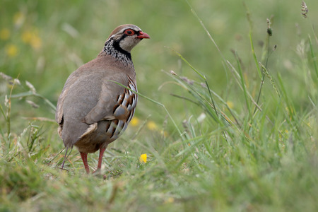 rufa: Red-legged partridge, Alectoris rufa, single bird in grass, Warwickshire, June 2015