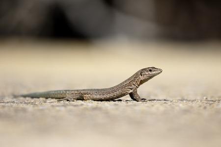 Lilfords wall lizard, Podarcis lilfordi gigliolii, Dragonera island, Majorca, June 2015