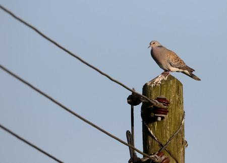 turtle dove: Turtle dove, Streptopelia turtur, single bird on telegraph pole, Oxfordshire, June 2015 Stock Photo