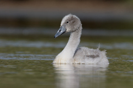 cygnus olor: Mute swan, Cygnus olor, single cygnet on water,  Warwickshire, July 2015