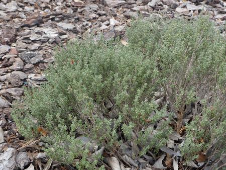 thymus: Garden thyme, Thymus vulgaris, Majorca, June 2015 Stock Photo
