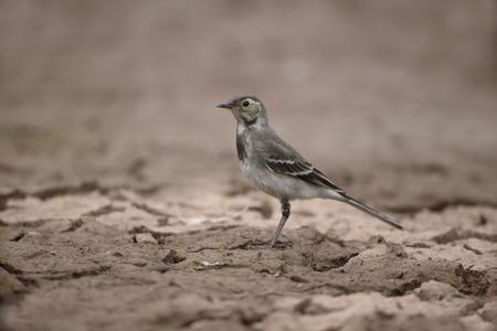 motacilla: Pied wagtail, Motacilla alba, single young bird on mud, Warwickshire, July 2015