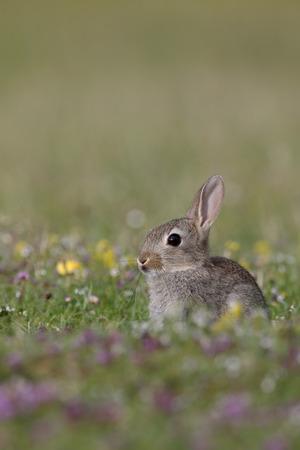 mull: Rabbit, Oryctolagus cuniculus, single mammal on grass, Mull, Scotland, July 2015