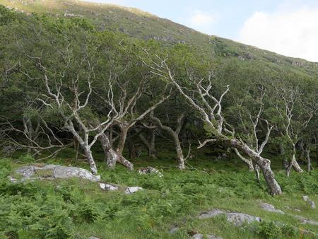 mull: Oak woodland, bent by wind, Isle of Mull, Scotland, July 2014