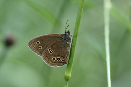 aphantopus: Ringlet Butterfly, Aphantopus hyperantus, single insect on grass, Warwickshire, July 2015