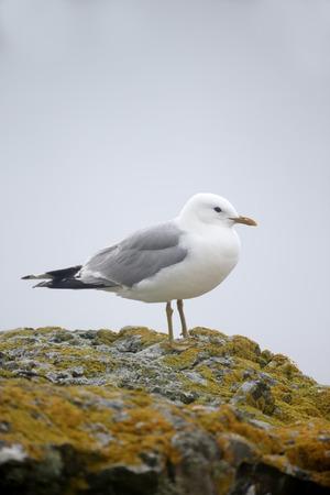 larus: Common gull,  Larus canus, single bird on rock, Isle of Mull, July 2015
