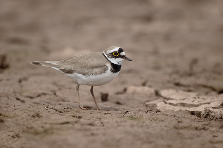 plover: Little-ringed plover, Charadrius dubius, single bird on mud, Warwickshire, July 2015