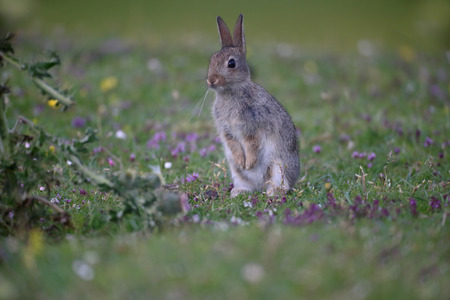 oryctolagus cuniculus: Rabbit, Oryctolagus cuniculus, single mammal on grass, Mull, Scotland, July 2015