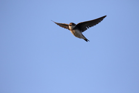 mull: Sand martin, Riparia riparia, single bird in flight, Mull, Scotland, July 2015